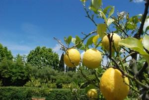 Erntefrische Zitronen