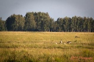 Greylag goose (Anser anser) - Vestamager