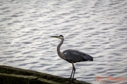 Grey heron (Ardea cinerea) - Vestamager