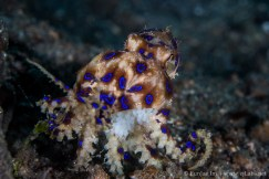 Blue Ring Octopus carrying Eggs. Lembeh strait, North Sulawesi, Indonesia. Canon 5D Mark III, 100mm.