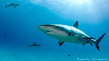 Caribbean reef shark at Fish Tail dive site, Bahamas