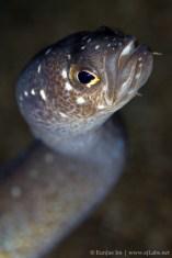 Garden eel closeup (Spaghetti Garden Eel - Gorgasia maculata) Dauin, Philippines