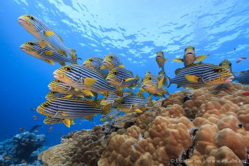 School of Oriental Sweetlips in Southern Maldives.
