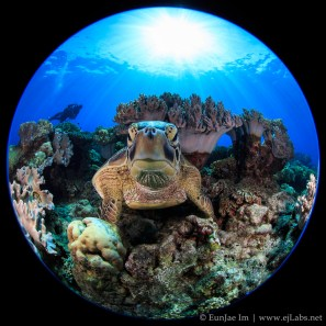 Turtle at Apo island, Negros Oriental, Philippines. Canon 5D Mark III, Canon 8-15mm at 8mm.