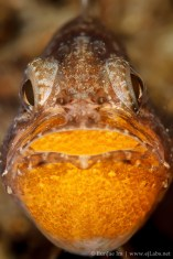 Mouthbrooding Cardinalfish