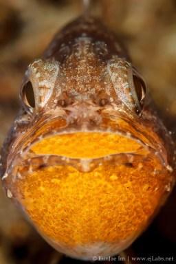 Mouthbrooding Cardinalfish
