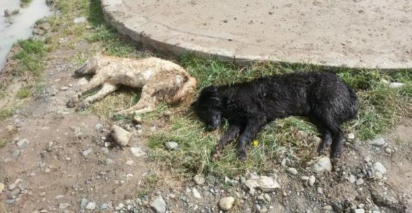 Los animales aparecieron botados en jardineras y calles de la urbe alteña. Se presume que antisociales cometieron el crimen.