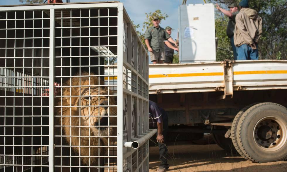 Uno de los leones, tras ser descargado del camión