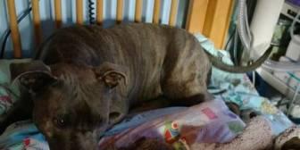 La conmovedora historia de la perra que todas las mañanas visita a un nene en coma