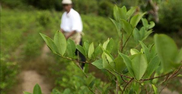 Entre 2012 y 2013 en Bolivia se han logrado reducir al menos 2.300 hectáreas de cultivos de coca, de acuerdo a datos de la JIFE