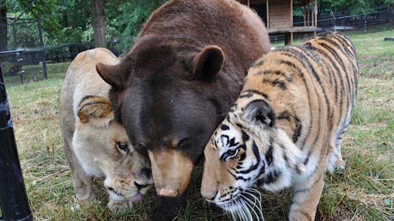 Leo, BalooyShere Khan viven juntos en el refugio llamado El Arca de Noé