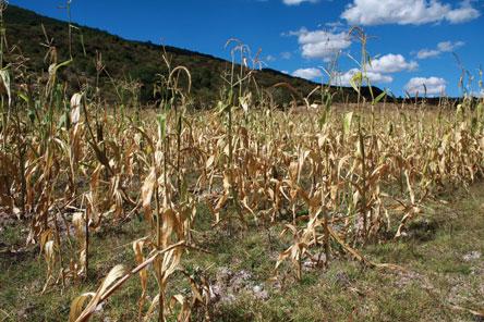 Sequía afecta a 3 municipios  de la provincia Cordillera