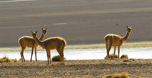 se puede ir tanto en época seca como lluviosa. la sensación es única en cada temporada.  flamencos, llamas, alpacas, vicuñas y otros animales lucen su belleza a cada paso