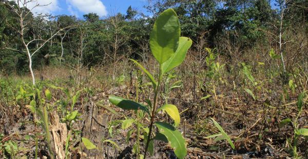Cocaleros han ingresado al Parque Nacional Amboró a sembrar coca, EL DEBER encontró plantaciones ilegales en esta área protegida. El Gobierno dice que esta coca es para el narcotráfico