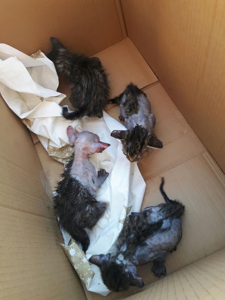 Imagen de los gatitos heridos tras la agresión