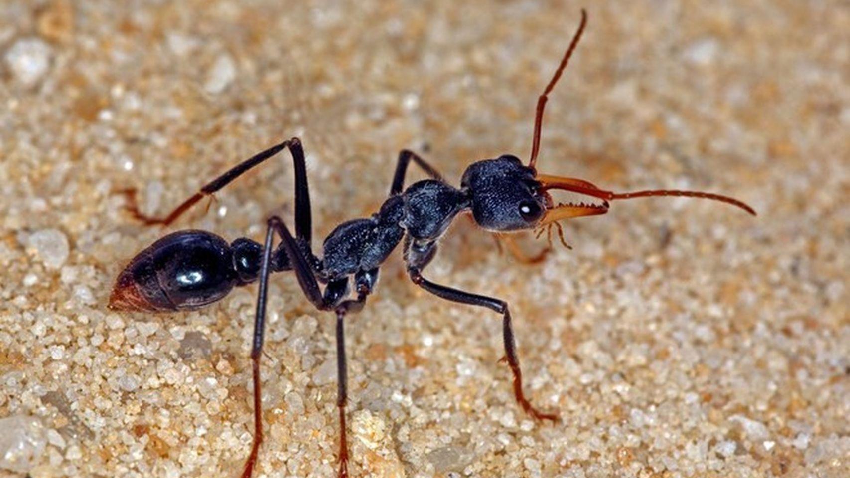 La hormiga más peligrosa.