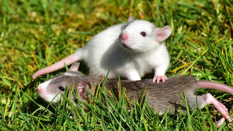 ¿Por qué Nueva Zelanda quiere exterminar a todas las ratas del país?