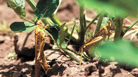 En enero se reportó el primer brote de la plaga de langostas en zonas productivas de Cabezas.