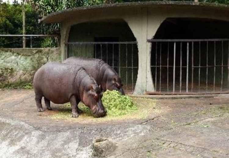 Los hipopótamos en Nápoles. Finalmente compró cuatro: un macho y tres hembras. Hoy suman más de 40 y forman la manada más grande de estos animales fuera de África