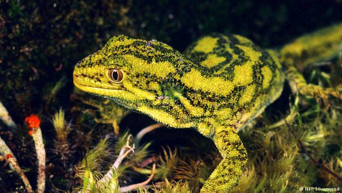 Foto de la costa oeste green gecko.