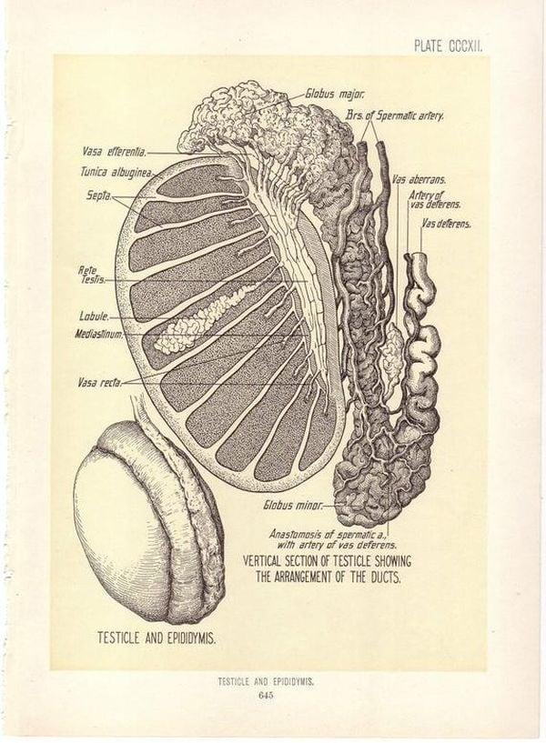 Ilustración de un testículo en un libro de anatomía de 1899