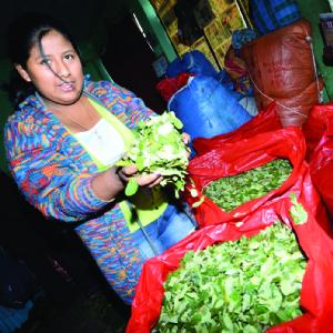 Los productores pueden vender 25% más coca sin un reglamento