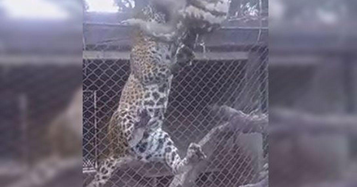 Jaguar atrapa a perezoso en el zoo de Santa Cruz