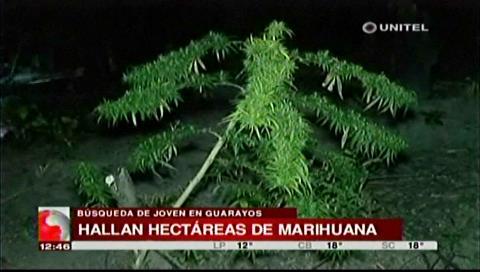 Buscaban a joven desaparecido y encuentran plantaciones de marihuana