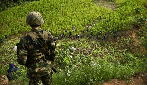El cultivo de coca sube un 44% en Colombia