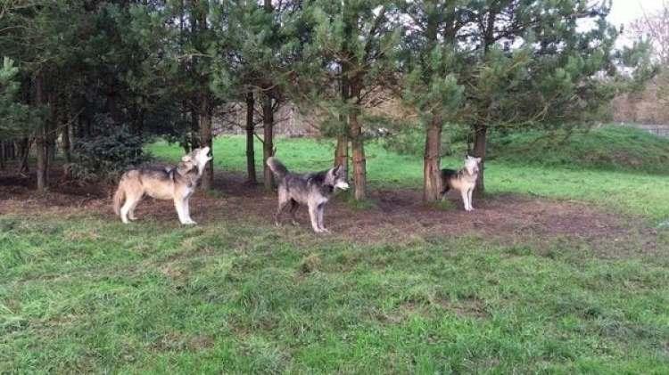 Los investigadores están monitoreando a los lobos a distancia por medio de sus aullidos. Imagen cortesía de Arik Kershenbaum
