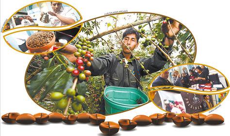 Café. Una plantación con los frutos de café en Caranavi (centro). Un productor y una variedad de café (izq. arriba). Los asistentes al evento, realizado en la Cancillería, prueban diferentes tipos de café. El ministro de Desarrollo Rural, César Cocarico (der. abajo).