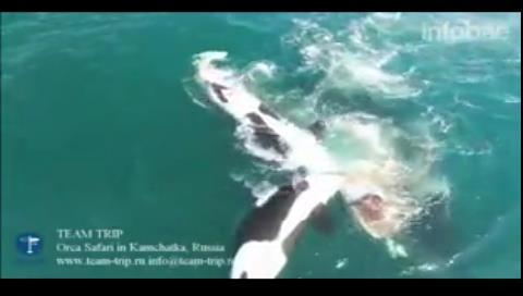 El salvaje ataque de siete orcas a una ballena en Kamchatka