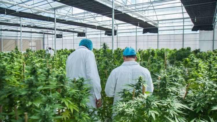 Invernáculo de cannabis de la empresa International Cannabis Corp. (ICC)