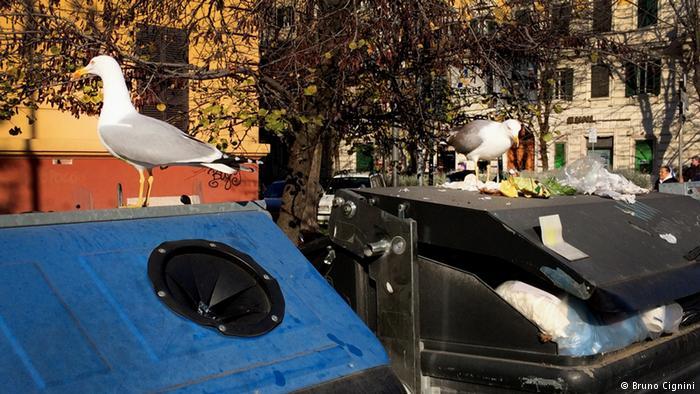 Gaviotas en contenedores de basura en Roma.