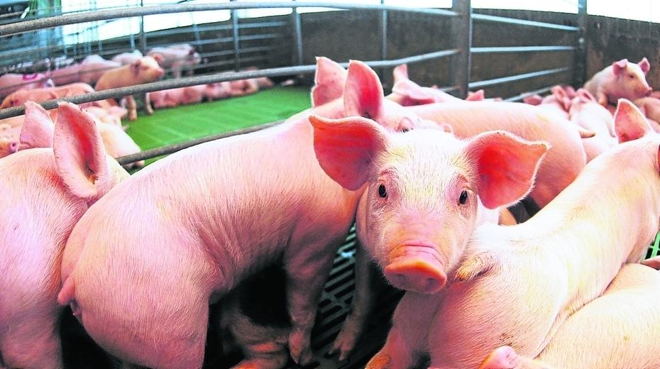 Resultado de imagen de cerdos clonados sin retrovirus