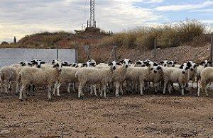 Resultado de imagen de 50 ovejas