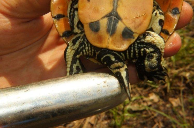 Un juguete sexual de USD 10 ayudó a los científicos a descubrir el sexo de las tortugas (Donald McKnight / The Washington Post)