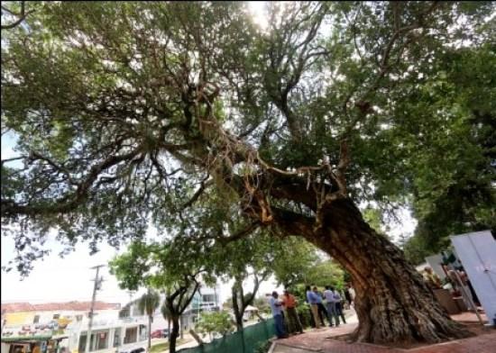 Patrimonio,-reconocen-al-arbol-mas-longevo-