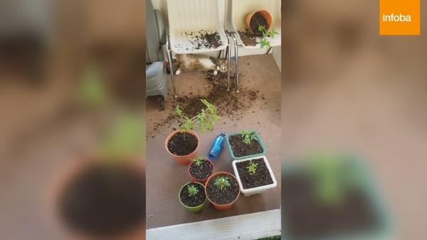 ¡Gatos juguetones! se comieron las plantas de marihuana que tenía su dueña