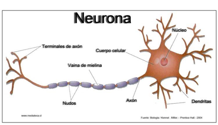 Estructura de la neurona. (Wikipedia)