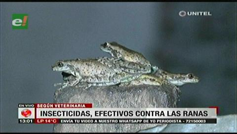 Municipio cruceño investiga la proliferación de ranas en Valle Hermoso