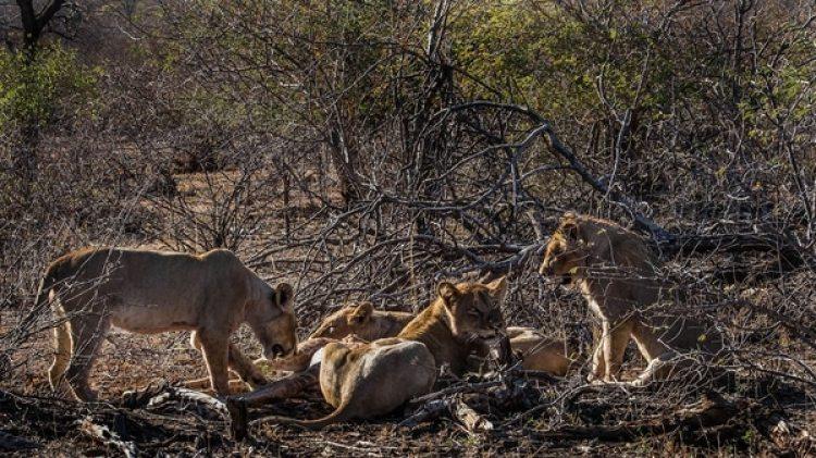 Los leones matan cada año a 250 personas en África (Grosby)