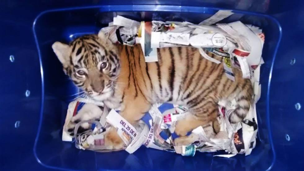 El cachorro de tigre de bengala estaba en una caja de plástico.