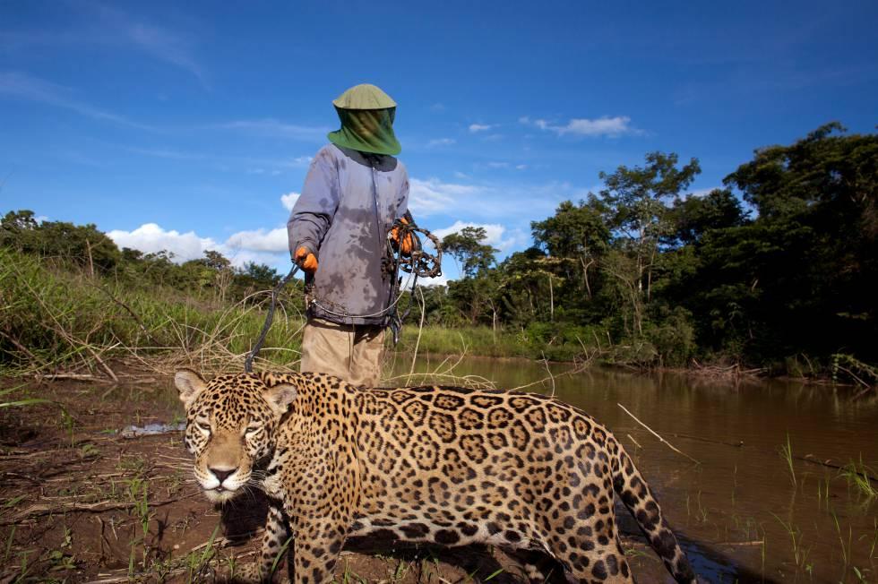 Un ejemplar de jaguar boliviano.