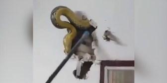 Descubre una enorme pitón de 4,5 metros en la pared de su piso