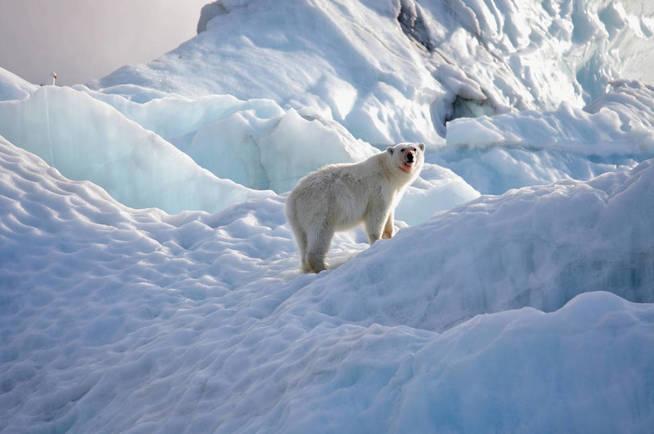 Un oso polar de la zona sobre el glaciar. (iStock)