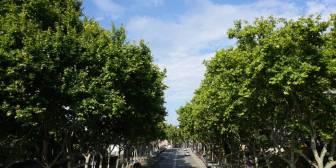De Vitoria a Singapur, árboles para las ciudades