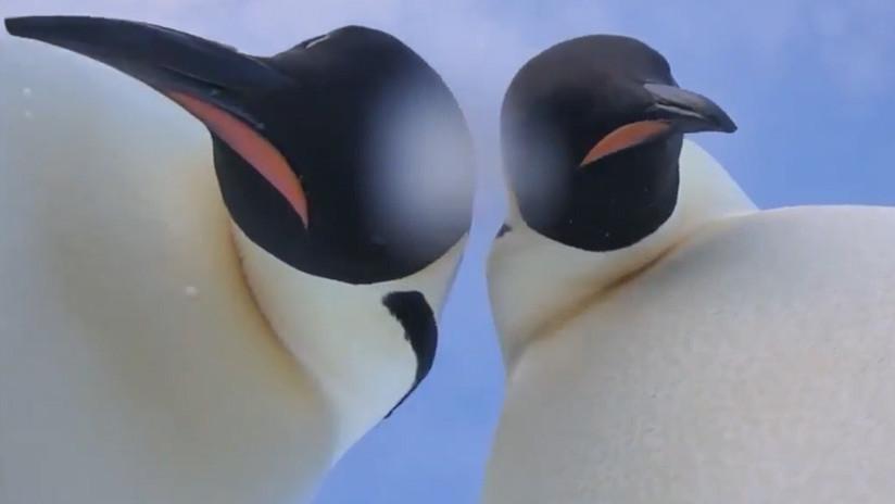 Cuando dos pingüinos