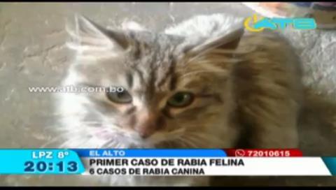 Reportan el primer caso de rabia felina en El Alto