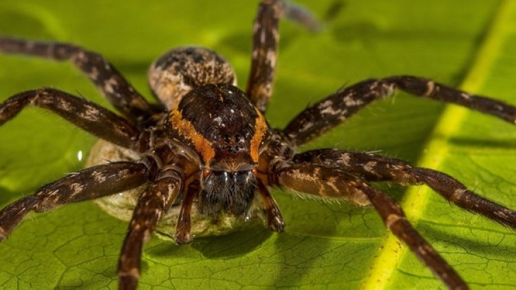 Una de las arañas se llama Dolomedes briangreenei, que lleva el nombre del científico y divulgador estadounidense Brian Green